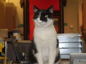 Oswald the black and white cat of the Stirling Smith Museum sitting on the Reception desk.
